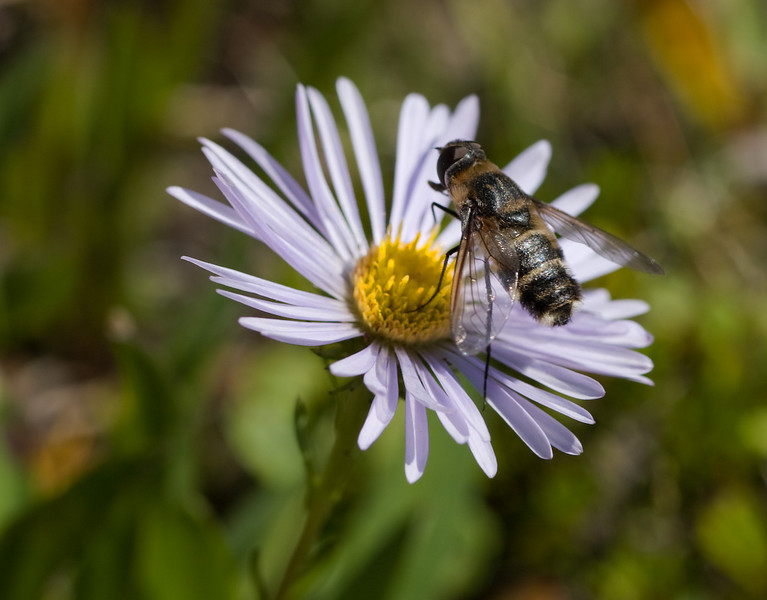 Bee visiting aster