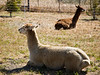 Alpacas, Lingonberry Inn