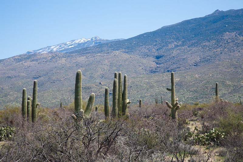 Saguaros and skyline