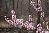 Plum blossoms, Grasshopper Point, Oak Creek Canyon