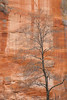 Tree and cliff, West Fork, Oak Creek Canyon