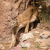 Mountain Lion, Sonora Desert Museum