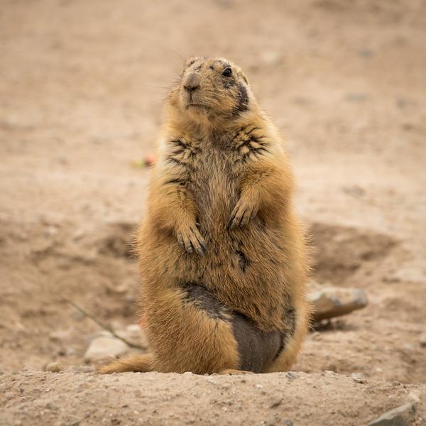 Prairie Dog, Sonora Desert Museum