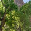 Cottonwoods, Pima Canyon