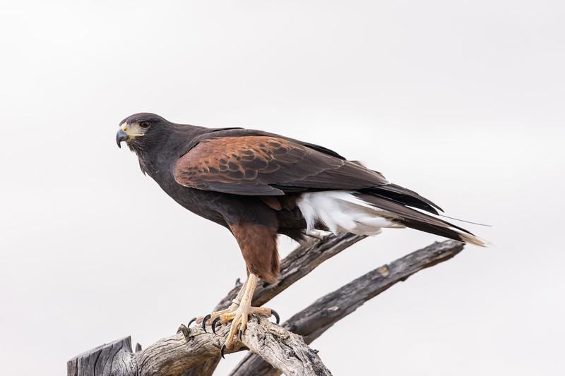 Harris Hawk, Sonora Desert Museum