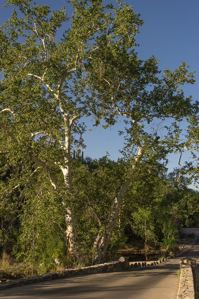 Sabino Creek Bridge with Arizona Sycamore
