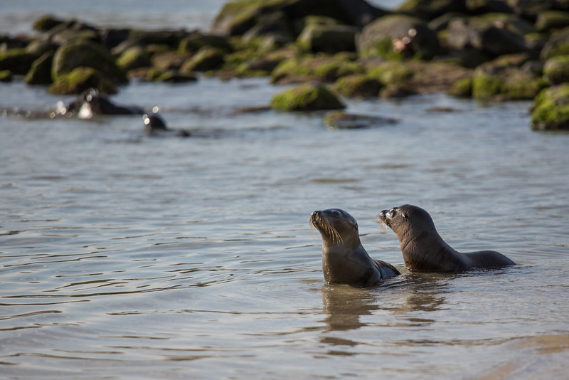 Young sea lions at play