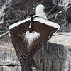 Nazca booby