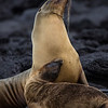 Sea lions, mother and pup