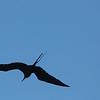 Frigate bird