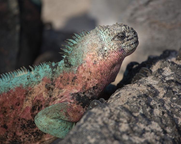 Marine iguana in breeding color
