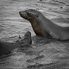 Young sea lions playing