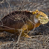 Land iguana with cactus pad