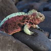 Marine iguana in breeding color
