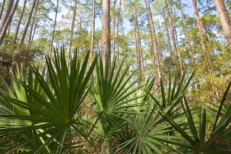 Palmetto-Pine ecosystem