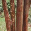 Crepe Myrtle, Magnolia Plantation