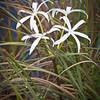 Swamp lily, Everglades
