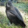Black Vulture, Everglades