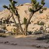 Joshua tree and granite mound
