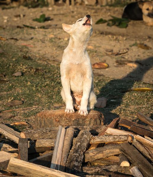 Dog on woodpile