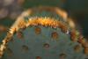 Prickly Pear Cactus, Desert Botanical Garden