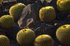Golden Barrel Cactus, Desert Botanical Garden