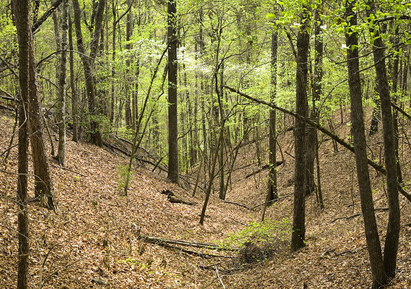 Dogwood in woods