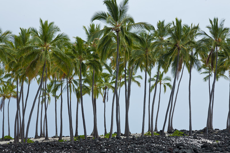 Palms, Big Island, Hawaii