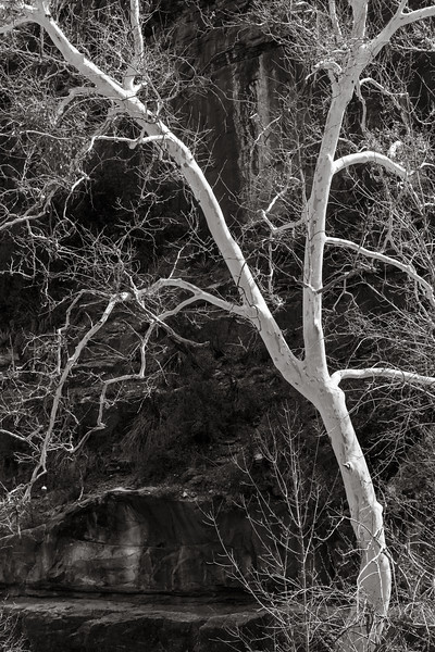 Arizona Sycamore, Oak Creek Canyon, Arizona