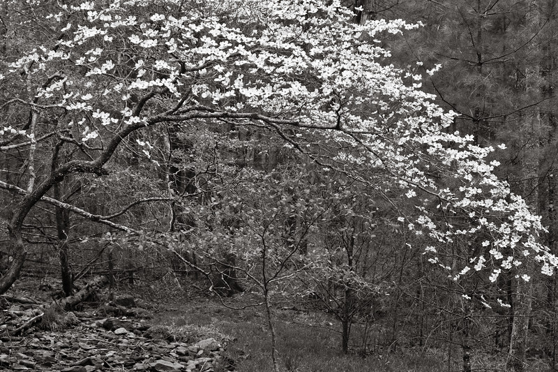 Dogwood, Great Smoky Mountains National Park