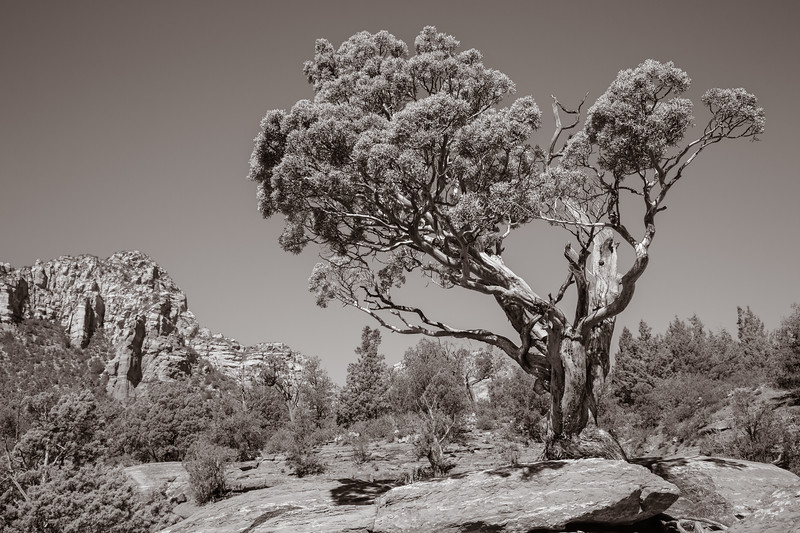 Juniper, Sedona, Arizona