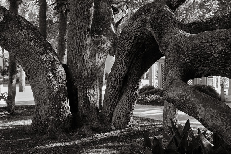 Oak, Hilton Head Island, South Carolina
