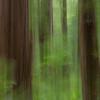 Sequoia, Navarro River State Park, California