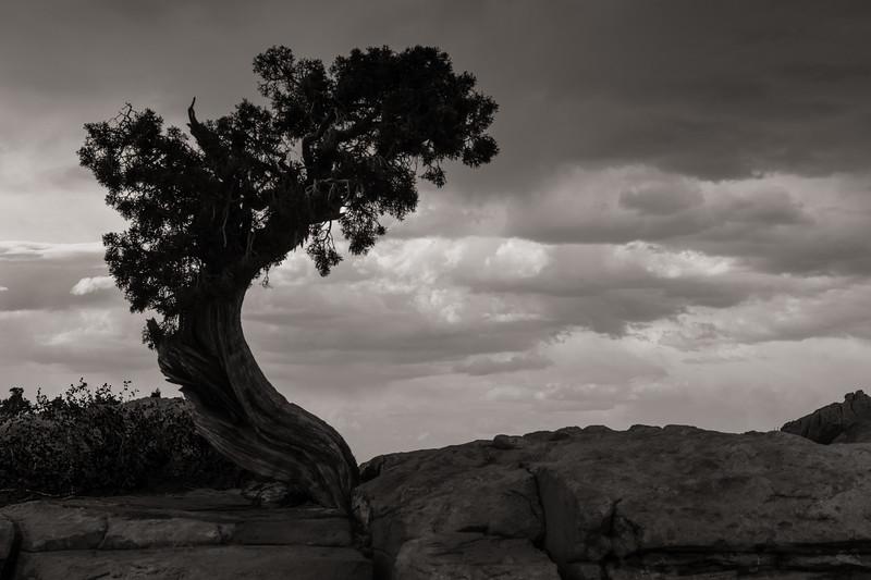 Juniper, Dead Horse State Park, Utah