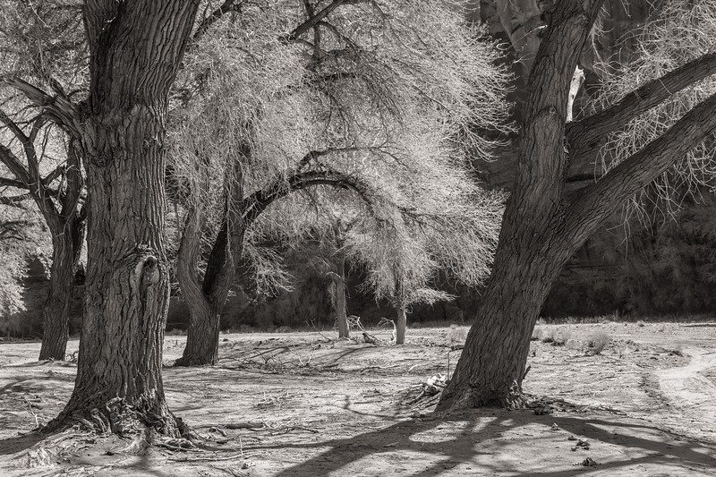Cottonwoods, Canyon de Chelly, Arizona