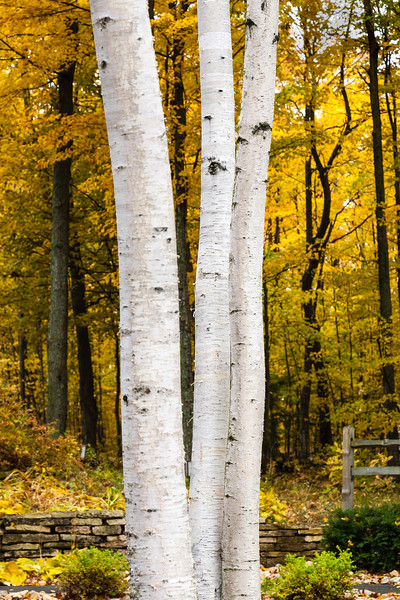 Birch, Door County, Wisconsin