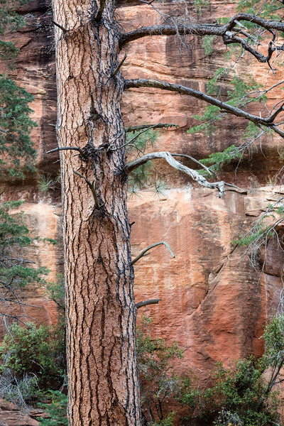Ponderosa Pine, Oak Creek Canyon, Arizona