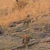 Tigress and cubs walking on rocky terrain in Ranthambhore