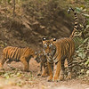 Tigress and cubs in the forest