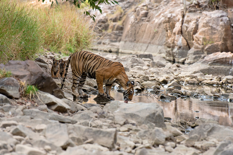 Tiger mother and cubs in Ranthambhore