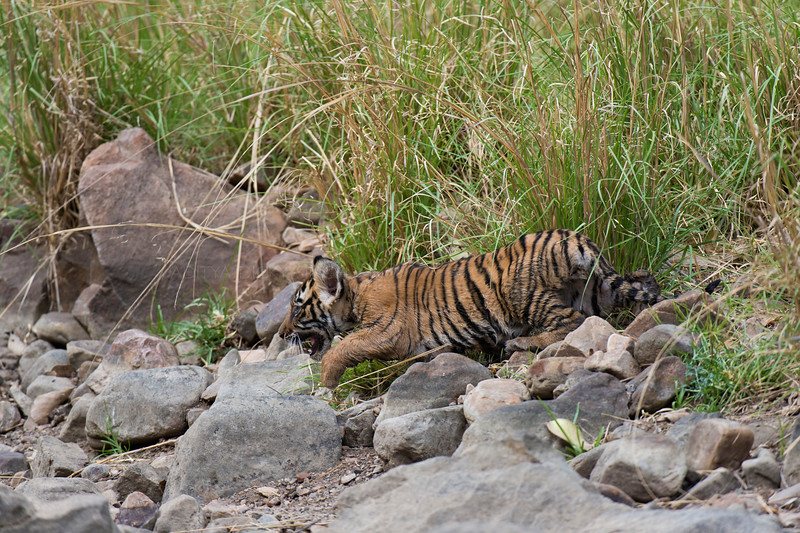 Tiger cub running in Ranthambhore