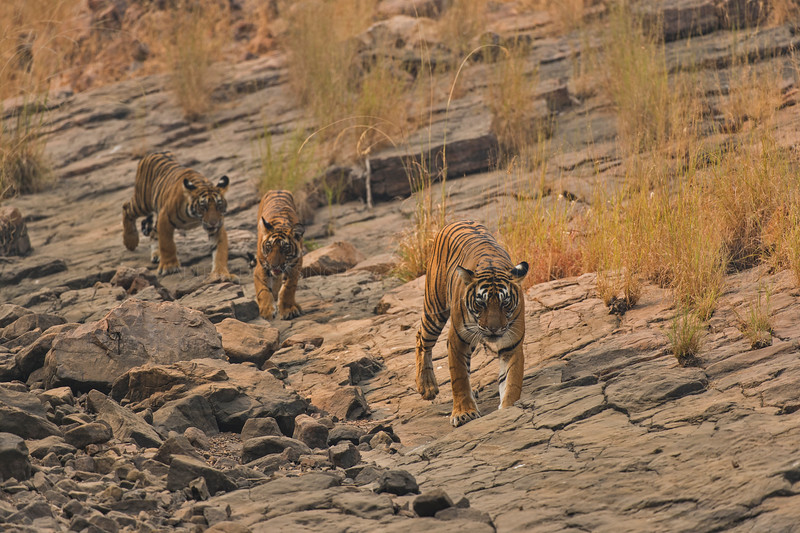 Tigress and cubs walking on rocky terrain in Ranthambhore
