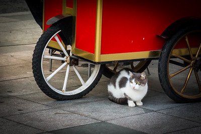 Grey and white tabby under a Simit cart