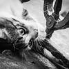 Calico kitten in Galata