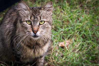 Tiger Tabby