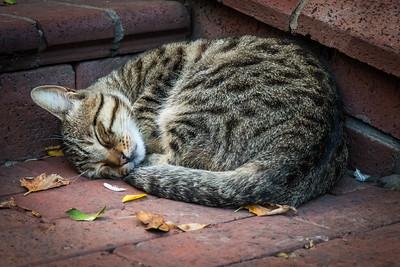 Sleeping Tabby