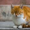 Orange and white tabby cat in Galata