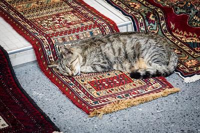 Carpet-seller's tabby cat at Arasta Bazaar