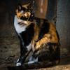 Orange and black calico cat in Galata