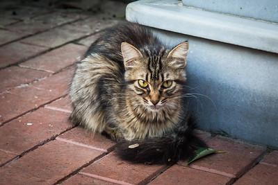 Striped tabby kitten w/dirty tail